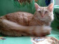 Domestic Medium Hair - Orange and white - Buttercup -