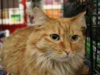 Domestic Medium Hair - Orange and white - Daisy -