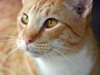 Domestic Medium Hair - Orange and white - Izzie Updated