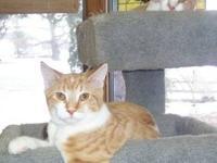 Domestic Medium Hair - Orange and white - Jasper -