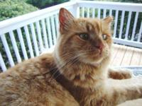 Domestic Medium Hair - Orange and white - Manteo -