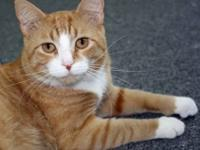 Domestic Medium Hair - Orange and white - Molly -