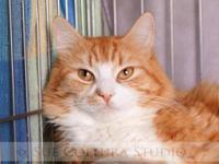 Domestic Medium Hair - Orange and white - Mr. T - Large