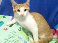 Domestic Medium Hair - Orange and white - Ripley -