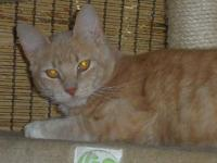 Domestic Medium Hair - Orange and white - Rodney -