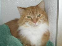Domestic Medium Hair - Orange and white - Tango -