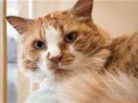 Domestic Medium Hair - Orange and white - Zac - Large -