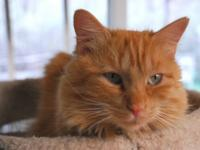 Domestic Medium Hair - Orange - Tang - Medium - Adult -
