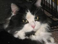 Domestic Medium Hair - Oxfur - Large - Adult - Male -