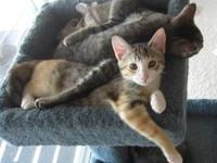 Domestic Medium Hair - Pie - Small - Baby - Female -