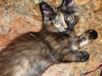 Domestic Medium Hair - Sadie - Medium - Baby - Female -