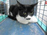 Domestic Medium Hair - Savanna - Large - Young - Female