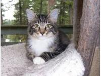 Domestic Medium Hair - Skittles - Medium - Young -