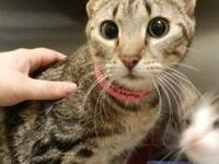 Domestic Medium Hair - Tabby Girl - Medium - Adult -