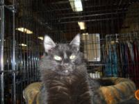 Domestic Medium Hair - Tahlia - Medium - Adult - Female