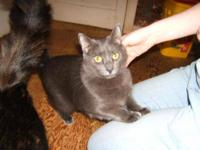 Domestic Medium Hair - Thunder - Small - Young - Male -
