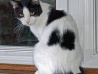 Domestic Medium Hair - Tippon - Medium - Adult - Male -