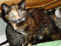 Domestic Medium Hair - Veronica - Medium - Baby -