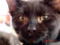 Domestic Medium Hair - Willie - Large - Adult - Male -