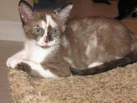 Domestic Medium Hair - Yzma - Medium - Young - Female -
