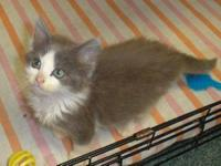 Domestic Medium Hair - Zena (fc-jc) - Medium - Young -