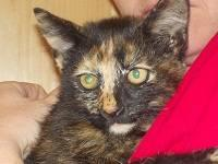 Domestic Short Hair - 173859 - Medium - Baby - Female -