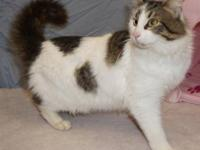 Domestic Short Hair - 19162007 - Small - Adult - Male -