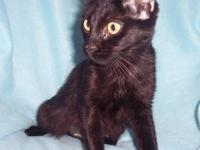Domestic Short Hair - 49764 - Small - Adult - Cat