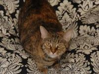 Domestic Short Hair - 49827 - Small - Adult - Female -