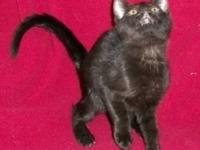 Domestic Short Hair - 51239 - Small - Baby - Cat