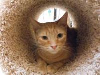 Domestic Short Hair - A019170 - Medium - Young - Cat