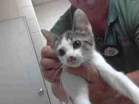 Domestic Short Hair - A050916 - Small - Baby - Female -