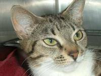 Domestic Short Hair - A051467 - Small - Young - Female