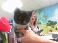 Domestic Short Hair - A099778 - Small - Baby - Male -
