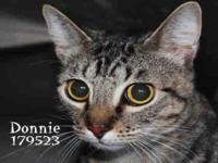 Domestic Short Hair - A099926 - Large - Adult - Male -