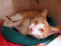Domestic Short Hair - A1212193 - Medium - Adult -