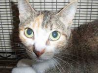 Domestic Short Hair - A1214643 - Medium - Adult -