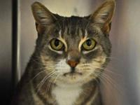 Domestic Short Hair - A1217989 - Large - Adult - Male -