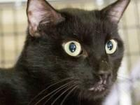 Domestic Short Hair - A483501 - Large - Young - Male -