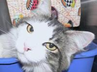 Domestic Short Hair - Abba - Medium - Adult - Female -
