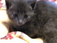 Domestic Short Hair - Abigail - Medium - Baby - Female