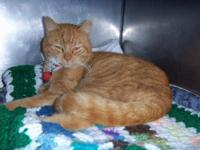 Domestic Short Hair - Ace - Medium - Adult - Male -