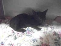 Domestic Short Hair - Adela - Small - Young - Female -