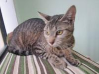 Domestic Short Hair - Adele - Small - Adult - Female -