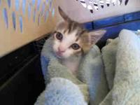 Domestic Short Hair - Adrianna - Small - Baby - Female