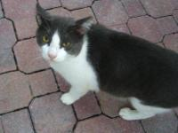 Domestic Short Hair - Affectionate Stray Cats - Medium