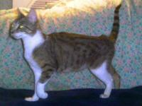 Domestic Short Hair - Africa - Small - Young - Female -