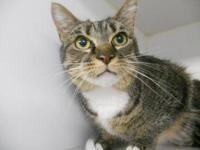Domestic Short Hair - Agatha - Medium - Adult - Female