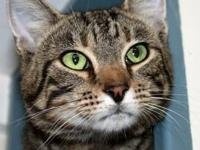 Domestic Short Hair - Aiden - Medium - Adult - Male -