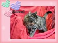 Domestic Short Hair - Albert - Small - Adult - Male -